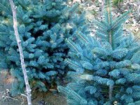科罗拉多蓝杉(抗寒)