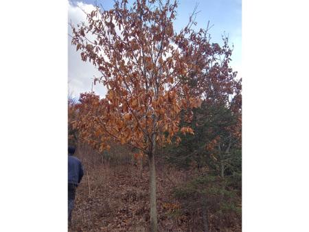 內蒙紅松樹苗分析紅松種群現狀