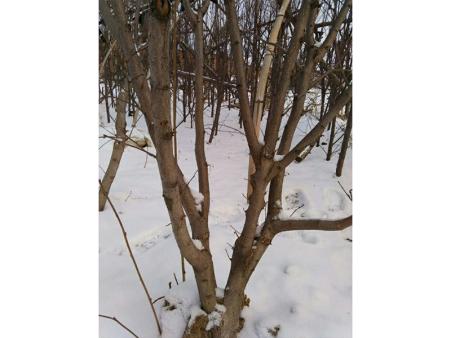 辽宁榛子树栽植需要适宜的环境