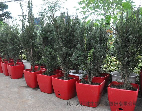黑格斯曼地亚红豆杉8年生盆景