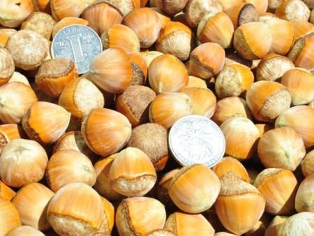 辽宁榛子树:大果榛子的种植前景