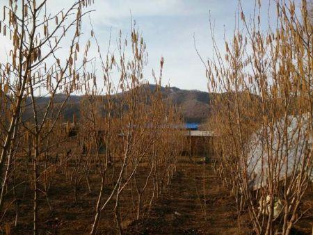 大果榛子栽培技术要点与经济效益浅析