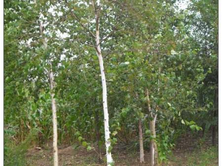 夏季高温,如何正确养护苗木?