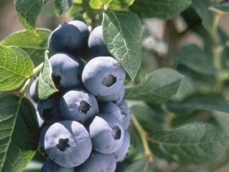钱德勒蓝莓