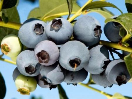奥尼尔蓝莓