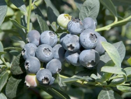 薄雾(密斯提)蓝莓
