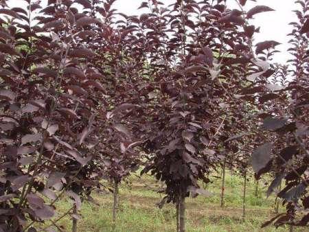 兰州海棠苗木