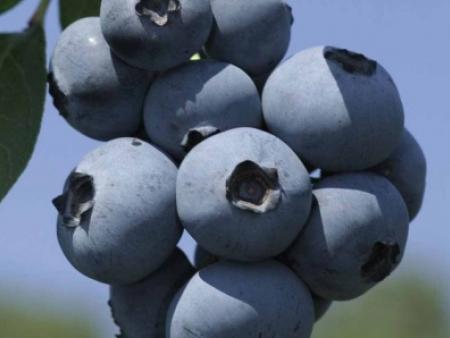 布里吉塔蓝莓
