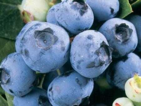 公爵(纯都克)蓝莓