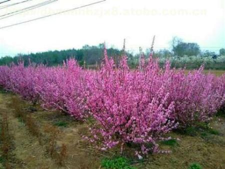 甘肃花灌木-美化庭院的花灌木
