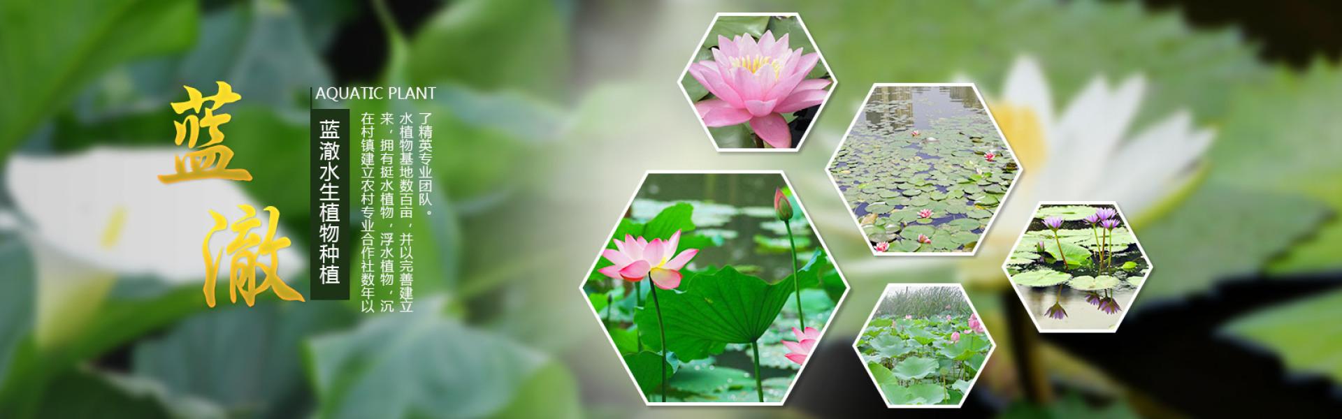 本公司在村镇建立农村专业合作社数年以来拥有挺水植物,浮谁植物,沉水植物,基地数百亩,并以完善建立了精英专业团队。