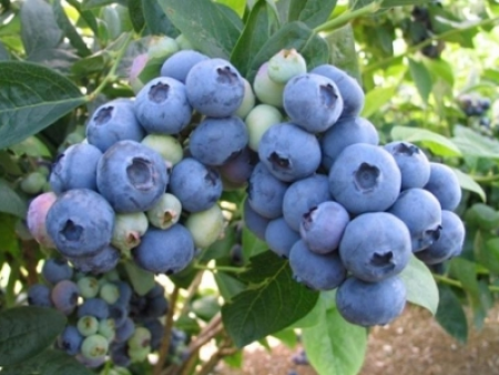 莱格西蓝莓