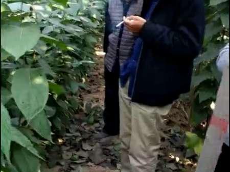 11月份是栽植杜仲苗的季节