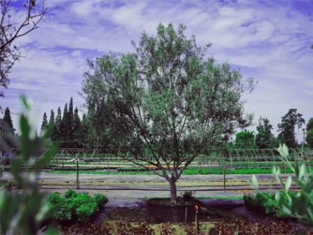 油橄欖銷售