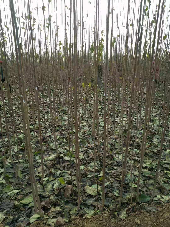 山东莘县仲友杜仲苗是一家种植多年的公司