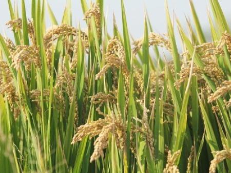 大量元素水溶肥中磷對農作物的作用