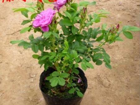 临洮四季玫瑰