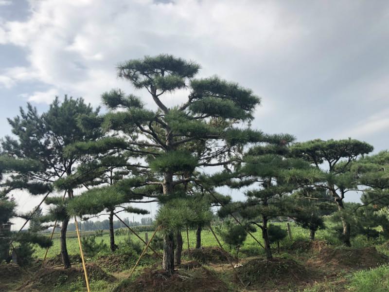 秋季要給上海造型松追施一次氮肥恢復樹勢
