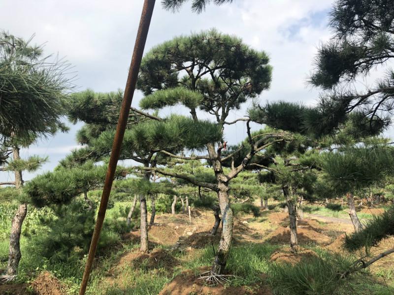 詳解_造型黑松樹干彎曲的原因及解決方法