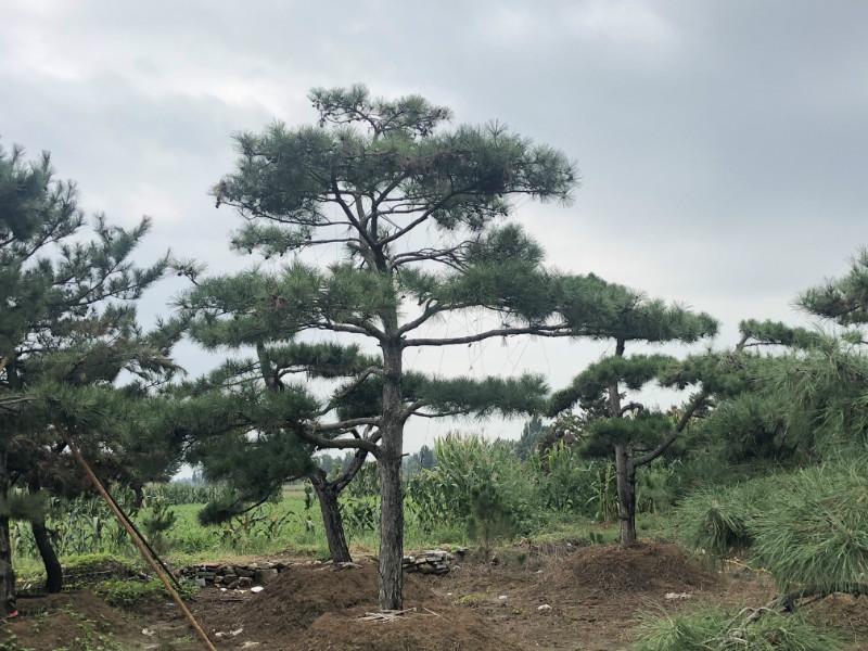 造型黑松基地種植樹木的經驗是什么?