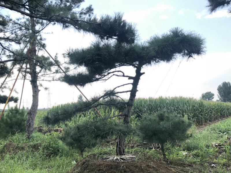 造型松基地|造型黑松樹