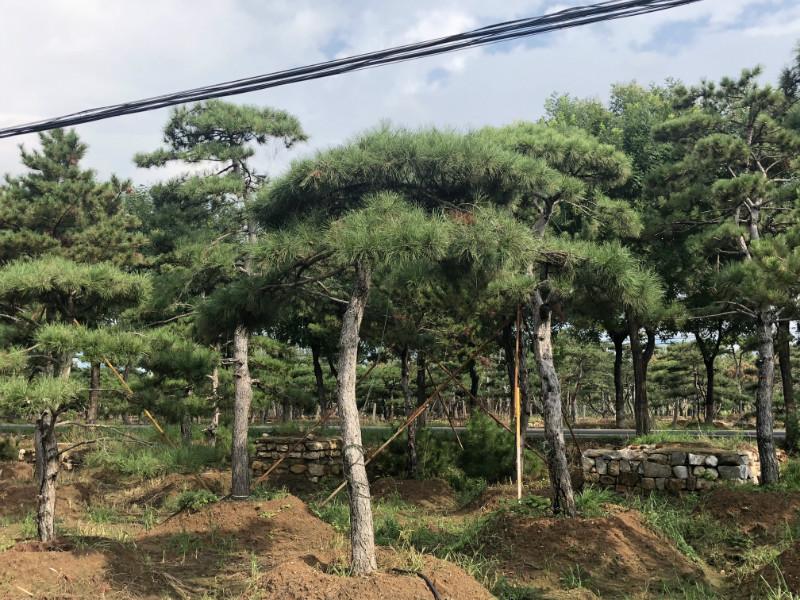 山東大型古松 造型油松基地
