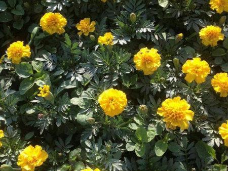 黄色孔雀草