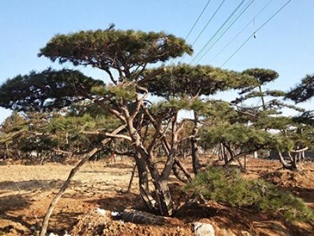 了解造型景观松嫁接方式中的芽接技术