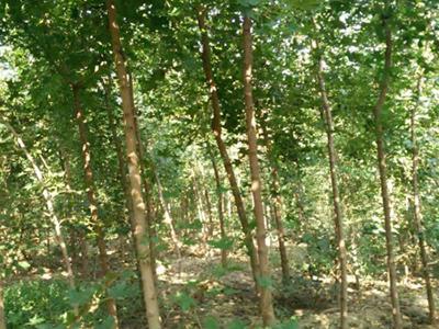 泰山华山松的种植繁育方法