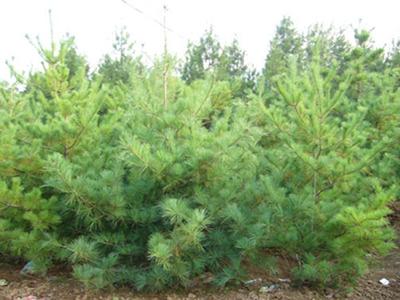 泰安华山松在秋季发生枝叶枯黄的原因