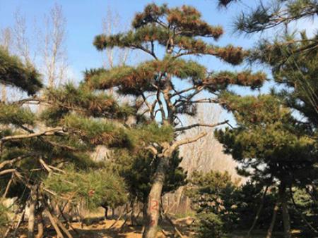 批发种植泰山景松需要注意的事项