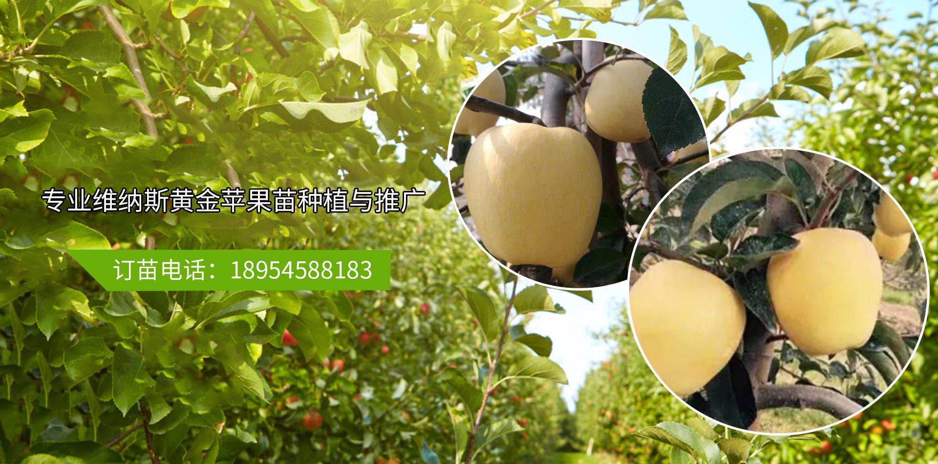 香蜜杏树苗