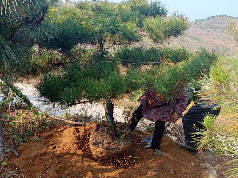造型景观松种植土壤的要求