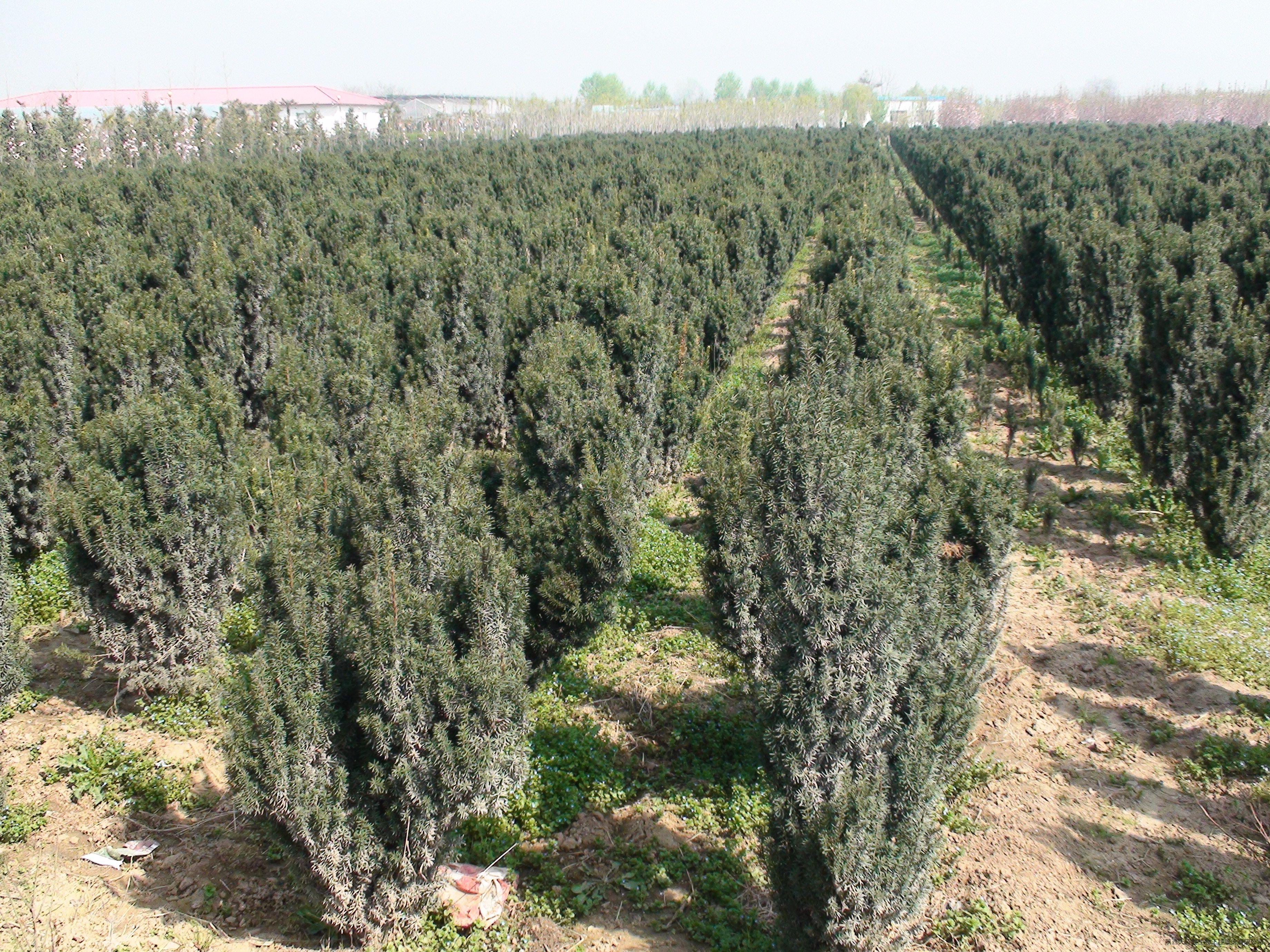 曼地亚红豆杉母本种植技术