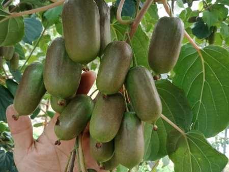 你知道软枣子的形态是什么样吗?