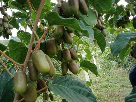 软枣猕猴桃苗运输注意事项