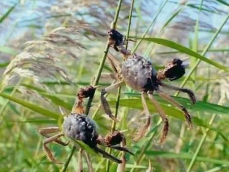 盤錦野生河蟹圖片