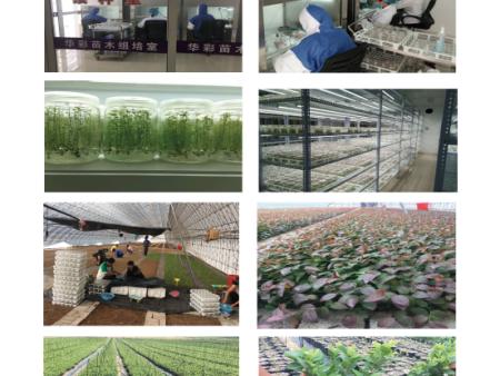 华彩蓝莓种苗的形成及成长过程