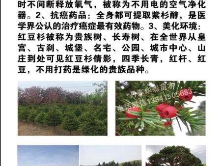 红豆杉的优点