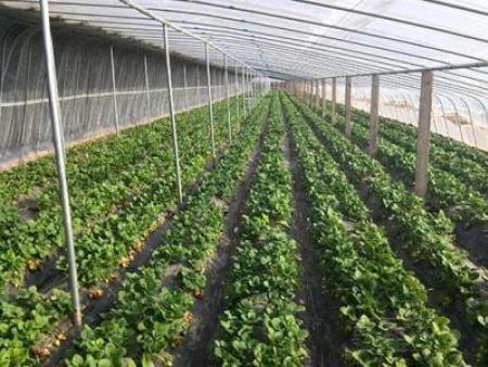 丹东章姬草莓苗
