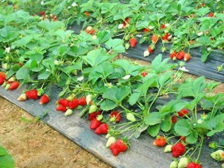 丹东红颜草莓苗厂家