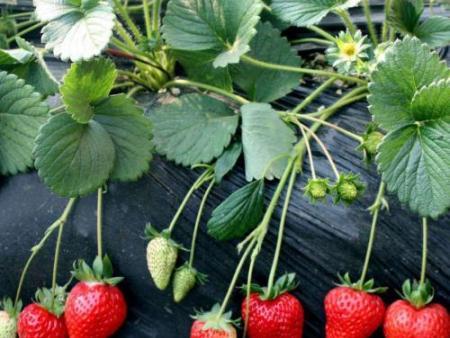 丹东草莓育苗基地