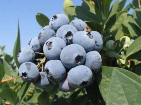 丹东蓝莓苗种植时间