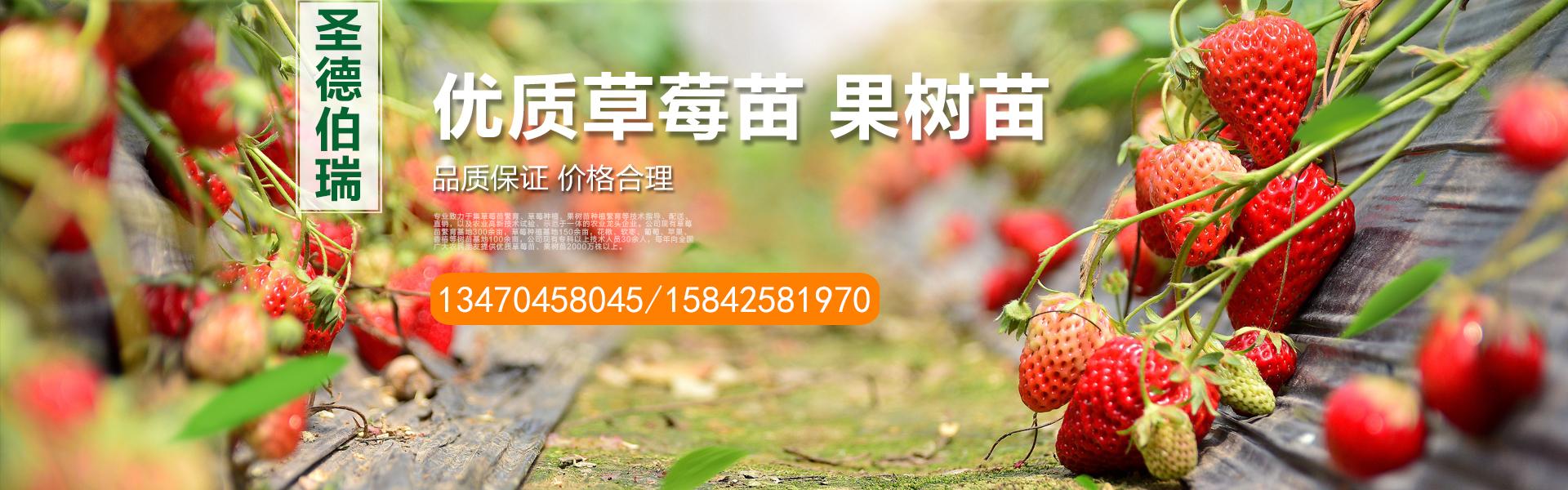 丹东软枣苗,丹东蓝莓苗,丹东红颜草莓苗,辽宁软枣猕猴桃