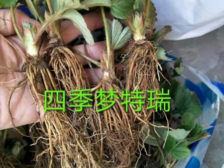 丹东草莓苗价格