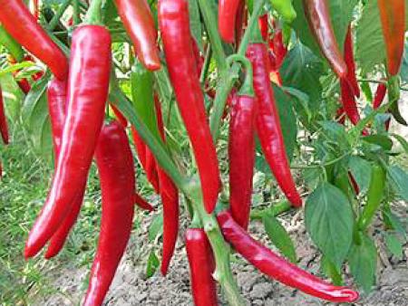 辣椒种苗怎么样才能合理地施肥