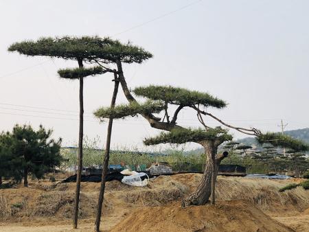 造型松的肥土管理