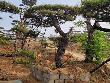 造型油松能够适应气温不断增长的环境