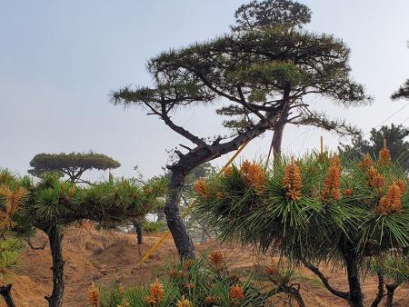 基地解密_种植造型油松需要注意哪些因素