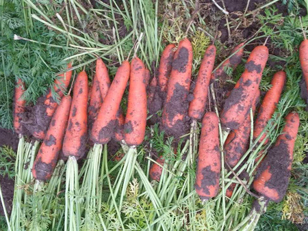 胡蘿卜分杈原因及防治